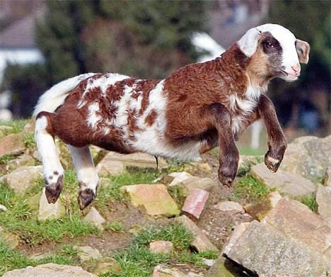 sheep and goats are very